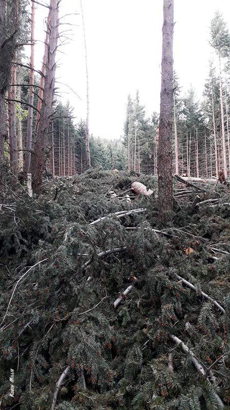 Forêt de pins abattues pour l'article de robin millie